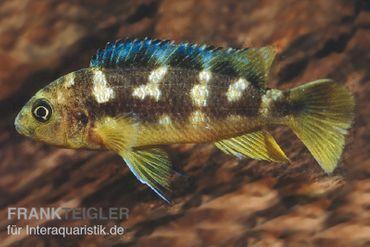 Chamäleon-Maulbrüter, Pseudotropheus crabro, DNZ