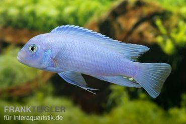 "Kobaltblauer Zebrabuntbarsch, Pseudotropheus zebra ""Cobalt Blue"""