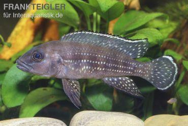 Perllinien-Tanganjikabuntbarsch, Neolamprologus tetracanthus
