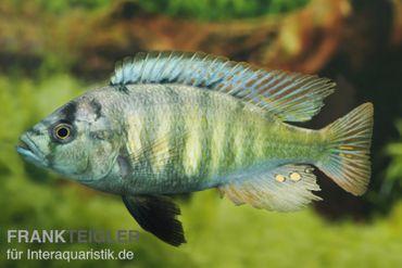 Haplochromis brownae