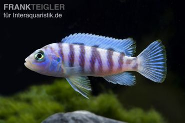 Blauer Zebrabuntbarsch, Pseudotropheus zebra, DNZ