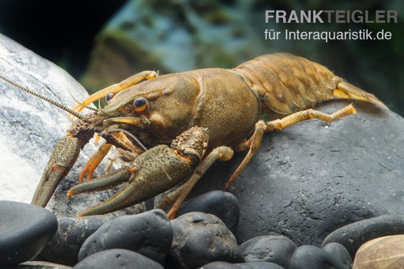 Europäischer Edelkrebs, Astacus astacus (Kaltwasser)