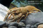 Europäischer Edelkrebs, Astacus astacus (Kaltwasser) 001