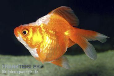 Goldfisch Ryukin rot-weiß, Carassius auratus (Kaltwasser)