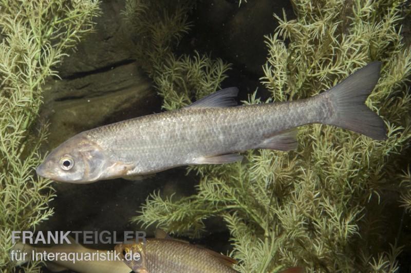 Nase chondrostoma nasus kaltwasser dnz 7 10 cm tiere for Zierfische teich