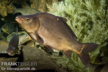 Spiegelkarpfen, Cyprinus carpio (Kaltwasser)