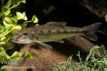 Gründling, Gobio gobio (Kaltwasser), DNZ, 7-10 cm