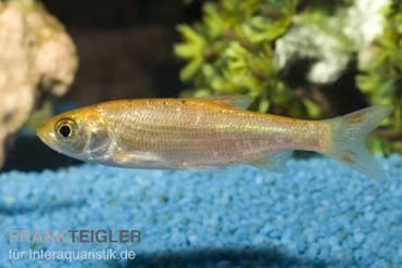 Goldorfe, Leuciscus idus (Kaltwasser), 7-10 cm, DNZ