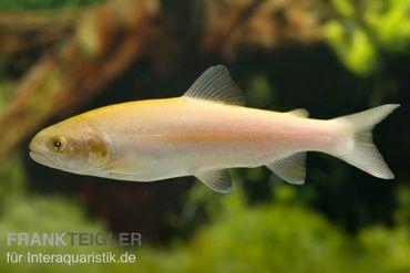 Goldforelle, Oncorhynchus mykiss (Kaltwasser)