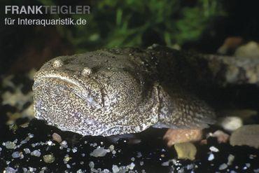 Peru-Krötenfisch, Potamobatrachus trispinosus