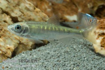 Japanischer Drachenfisch, Zacco platypus (Kaltwasser & Warmwasser), 7-10 cm
