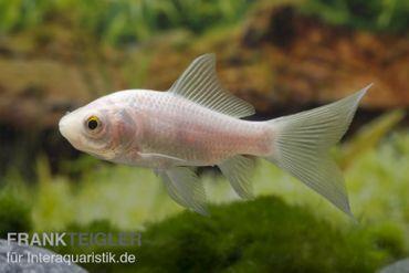 Goldfisch Komet weiß, Carassius auratus (Kaltwasser)