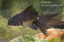 Schleierschwanz Schwarz, Carassius auratus, 4-5 cm (Kaltwasser)