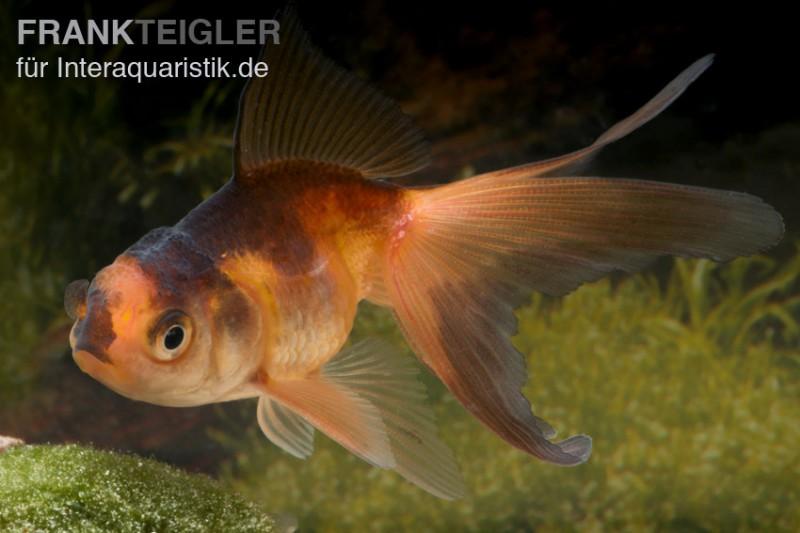 Oranda rot schwarz carassius auratus 4 5 cm kaltwasser for Zierfische lexikon