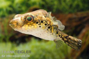 Echter Palembang-Kugelfisch, Tetraodon palembangensis – Bild 1
