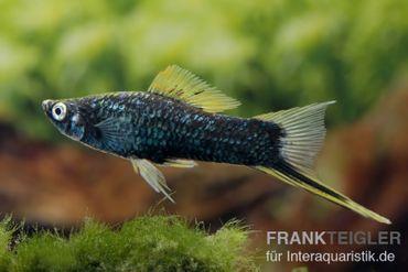 Schwarzer Schwertträger, Xiphophorus helleri