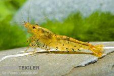 Goldene Tigergarnele/Tangerine Tiger, Caridina cf. cantonensis