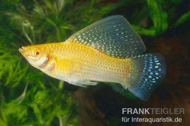 Segelkärpfling gold, Poecilia velifera – Bild 1