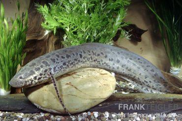 Westafrikanischer Lungenfisch, Protopterus annectens, 15-25 cm