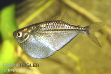 Platinbeilbauch, Thoracocharax securis/stellatus