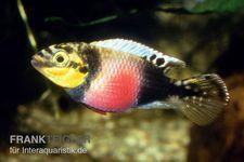 Augenfleck-Prachtbarsch, Pelvicachromis subocellatus matadi DNZ – Bild 1