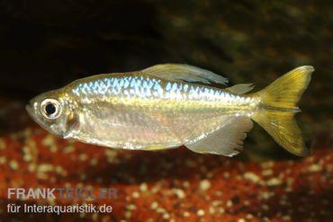 Gelber Kongosalmler, Hemigrammopetersius caudalis