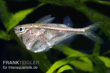 Marmorierter Beilbauchfisch, Carnegiella strigata