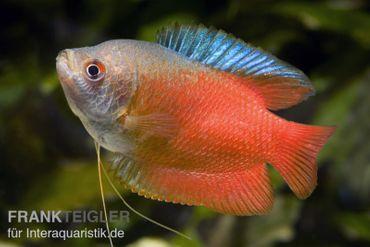 Zwergfadenfisch rot, Colisa lalia