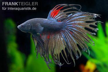 Crown Tail Kampffisch schwarz, Männchen, Betta splendens
