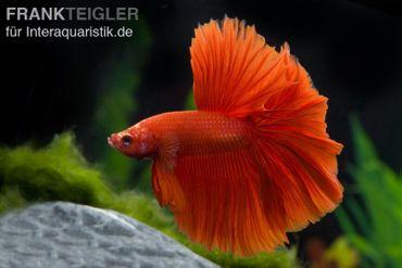 Halfmoon Kampffisch rot, Männchen, Betta splendens