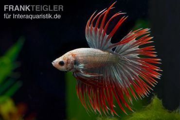 Crown Tail Kampffisch Red Copper, Männchen, Betta splendens