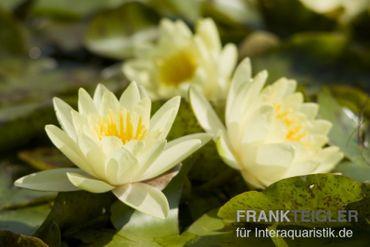 Gelbe Seerose, Nymphaea Sulphurea, Topf – Bild 2