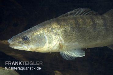 Gartenteich shop teich zubeh r und gartenteichfische for Gartenteichfische liste