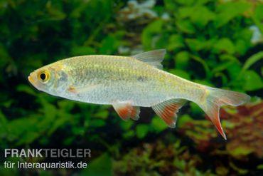 Gold-Rotfeder, Scardinius erythrophthalmus, DNZ, 8-10 cm (Kaltwasser)
