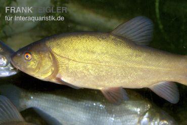 Schleie, Tinca tinca, 10-12 cm (Kaltwasser) – Bild 1