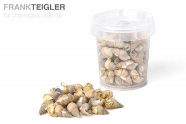 Hausmarke Sea-Snails, getrocknete Seewasserschnecken, 20 g