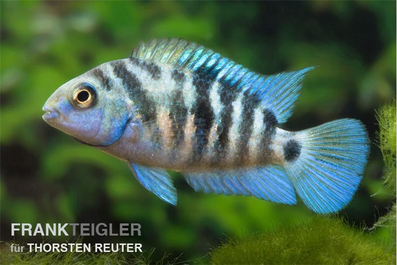 Zebrabuntbarsch honduras red point cryptoheros for Gartenteichfische arten
