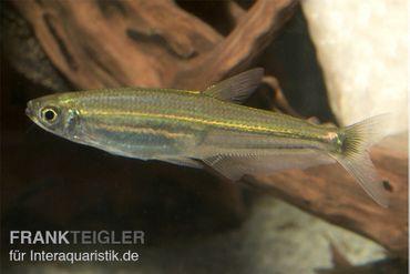 Eidechsensalmler, Iguanodectes spilurus