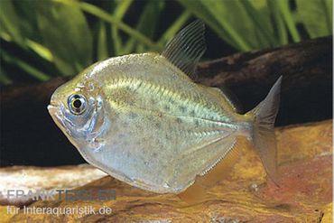 Gefleckter Scheibensalmler, Metynnis lippincottianus – Bild 1