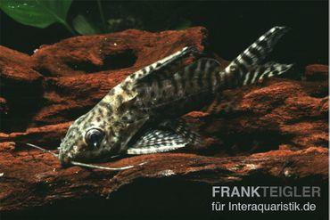 Schmuckflossen-Fiederbartwels, Synodontis eupterus – Bild 2
