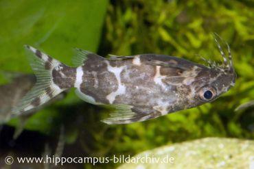 Rückenschwimmender Kongowels, Synodontis nigriventris