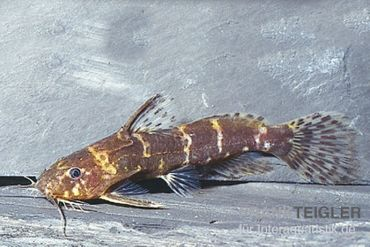 Zwergfiederbartwels, Microsynodontis batesii – Bild 1