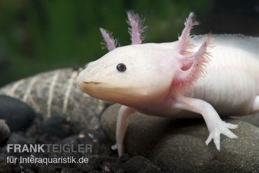 Axolotl Weißling, Ambystoma mexicanum