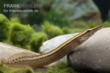 Stachelaal, Macrognathus lineatomaculatus – Bild 1