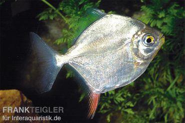 Haken-Scheibensalmler, Myleus rubripinnis, 5-8 cm
