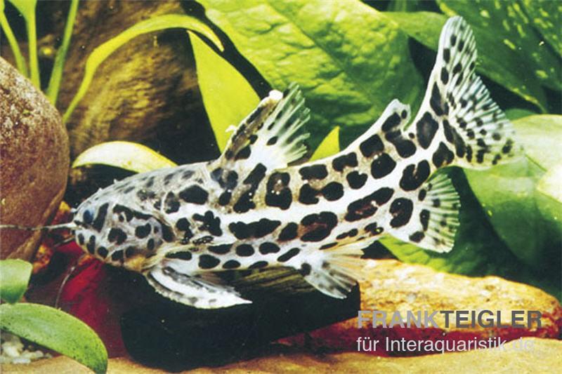 Jaguardornwels liosomadoras oncinus aquaristik shop mit for Zierfische lexikon