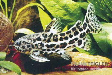 Jaguardornwels, Liosomadoras oncinus
