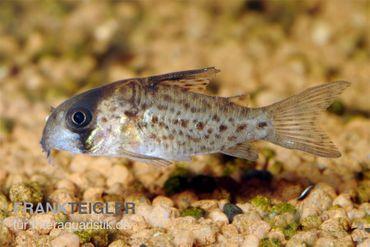 Fleckpanzerwels, Corydoras atropersonatus (Minifisch)