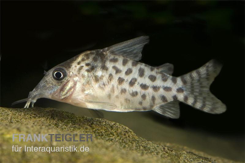 Gepunkteter panzerwels corydoras punctatus tiere for Gartenteichfische arten