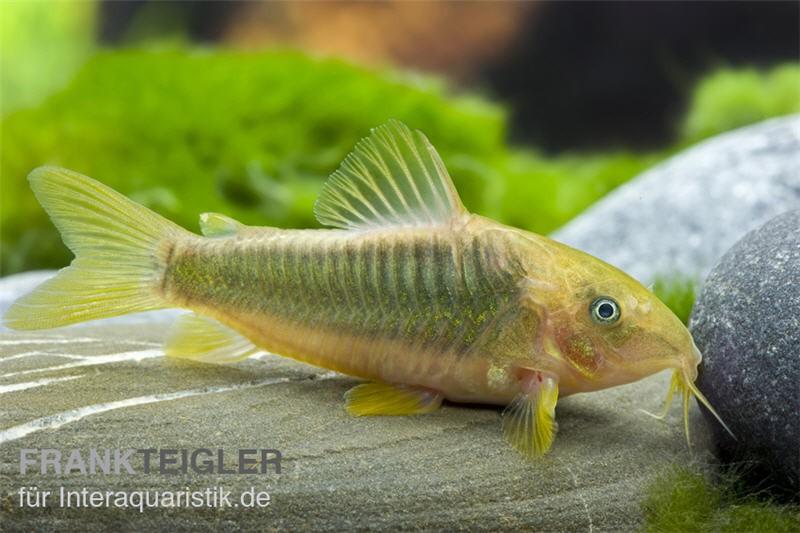 Goldener panzerwels corydoras melanotaenia aquaristik for Lebendfutter zierfische